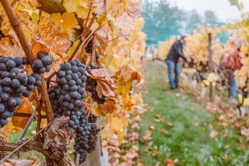 wijngaard unsplash